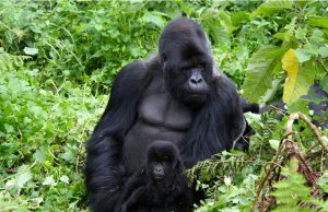 7 days Volcanoes gorilla trekking safari Rwanda & wildlife tour