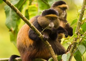 Golden Monkey trekking in Volcanoes National Park-Rwanda safari news