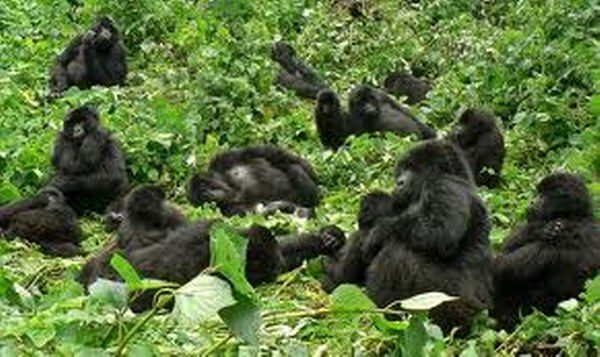 Female Gorillas important in Male success, Rwanda Gorilla trekking safari