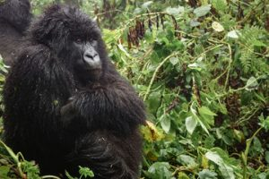 Mountain Gorilla Habitat and Ecology
