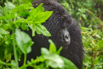 Mountain Gorilla Behavior in Volcanoes Park Rwanda