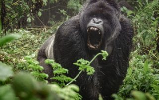 Mountain Gorillas in Volcanoes National Park Rwanda