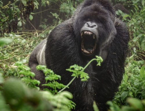 The Emotional Intelligence in Gorillas – Uganda Safari News