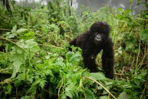Gorilla Trekking Safaris and Wildlife Safari Trips to Rwanda