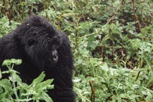 Gorilla Trekking Safaris and Wildlife Safari Trips