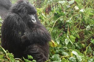 Mountain Gorilla Trekking in Volcanoes Park