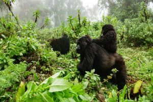 Mountain Gorilla families in volcanoes national park rwanda