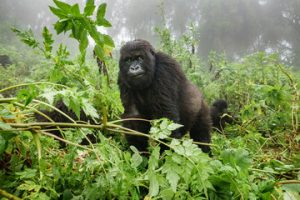 Mountain Gorilla Trekking in Volcanoes National Park Rwanda
